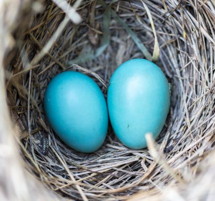 jakie ptaki składają niebieskie jaja