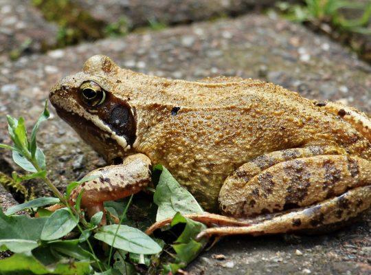 czy ropucha to żaba?
