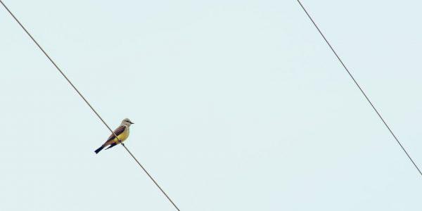 czemu ptaki nie razi prąd?