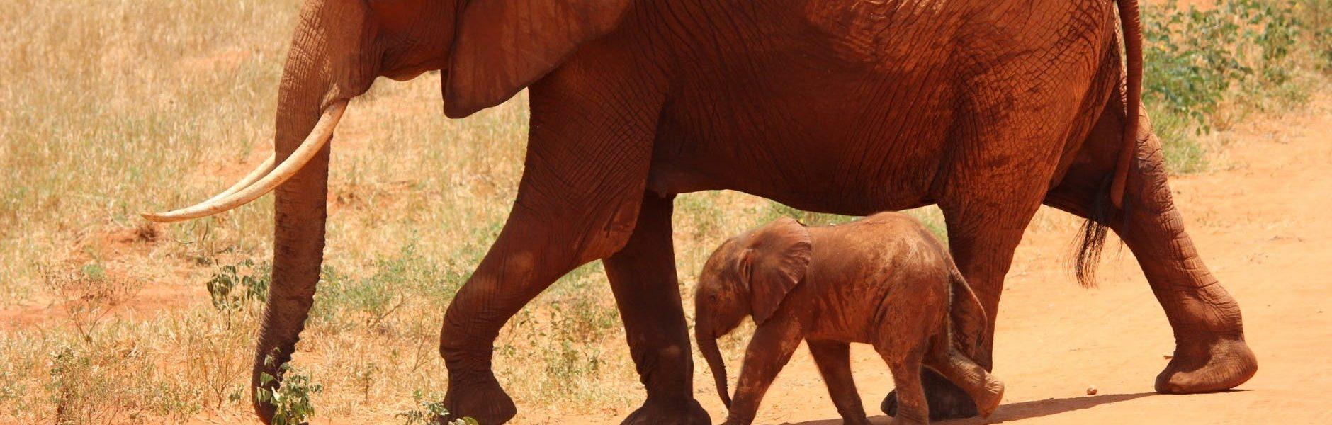 po co słoniom takie duże uszy?