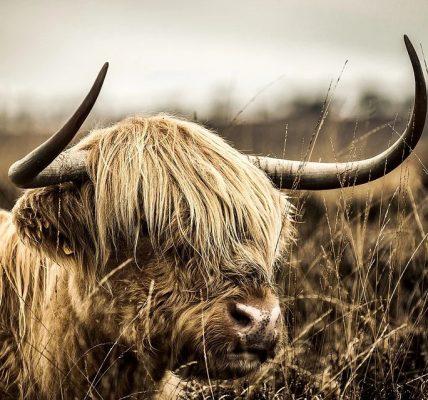 po co krowie rogi na głowie?