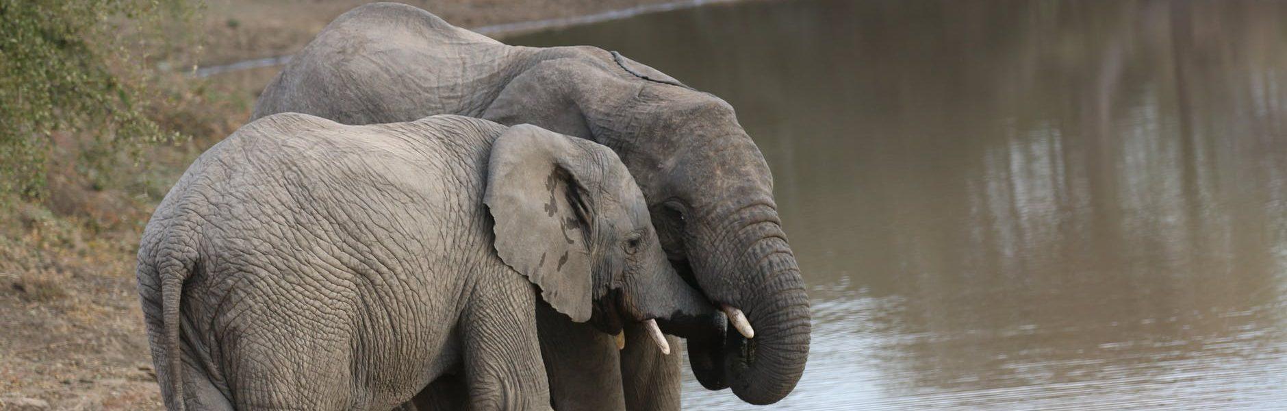słoń leśny