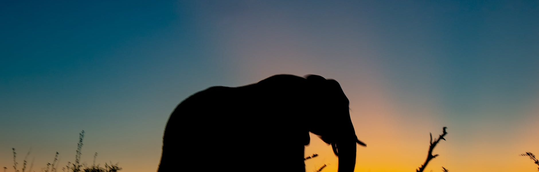 słoń afrykański a indyjski