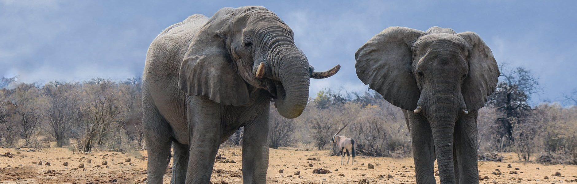 czy słoń ma kopyta?