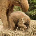 Ciąża u słonia