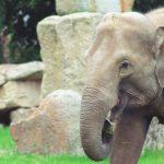 czy słoń ma zęby