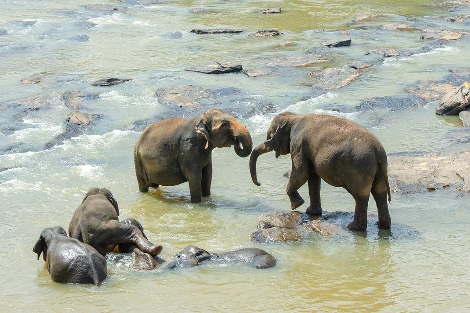 czy słoń potrafi pływać?