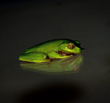 czy żaba zapada w sen zimowy