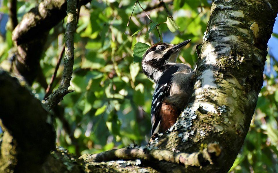jaki ptak ma czarne pióra w białe kropki