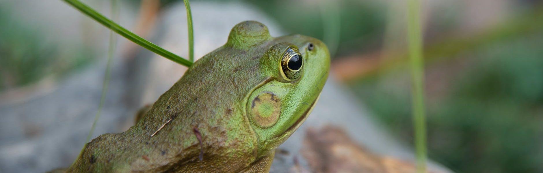czy żaba ma zęby