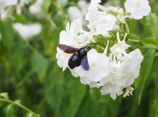 czarna pszczoła w Polsce