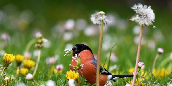 ptaki z czerwonym brzuchem
