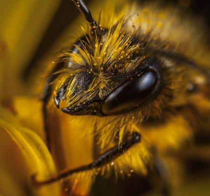 Jak długo żyje pszczoła?