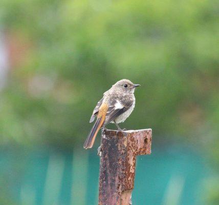 ptak z rudym ogonem