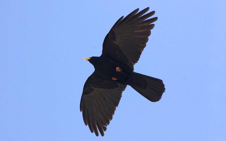 czarny ptak z żółtym dziobem