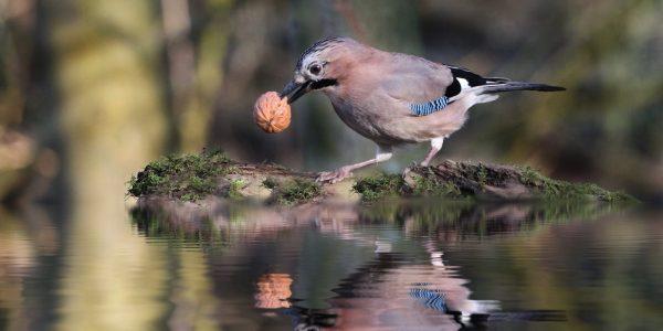 ptak podobny do sójki