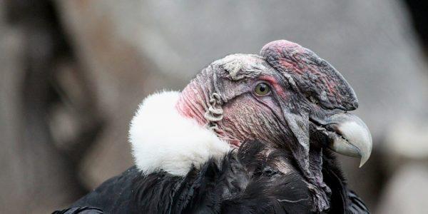 największy ptak drapieżny