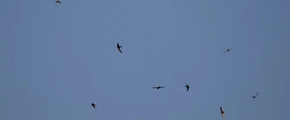 ptak podobny do jaskółki