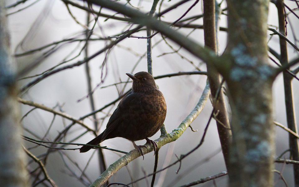 ptak podobny do kosa