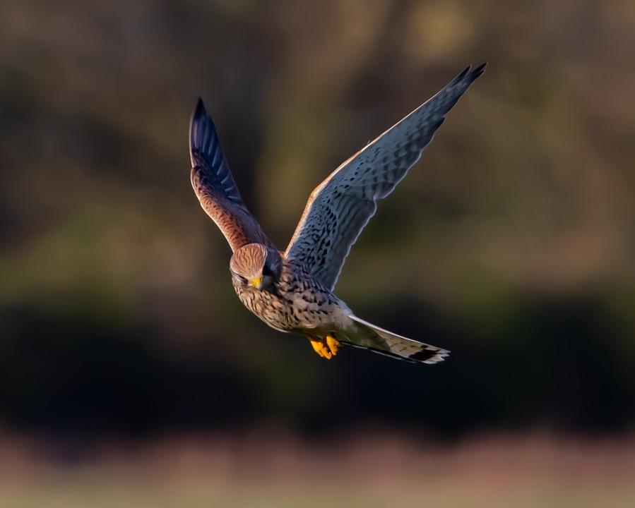 ptak z rodziny sokołów