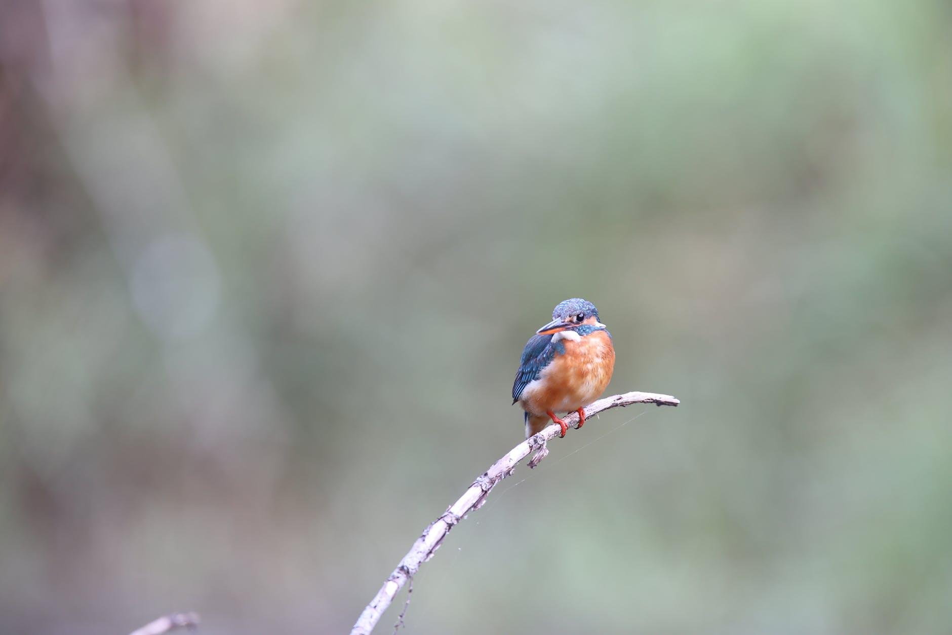 niebieski ptak w Polsce