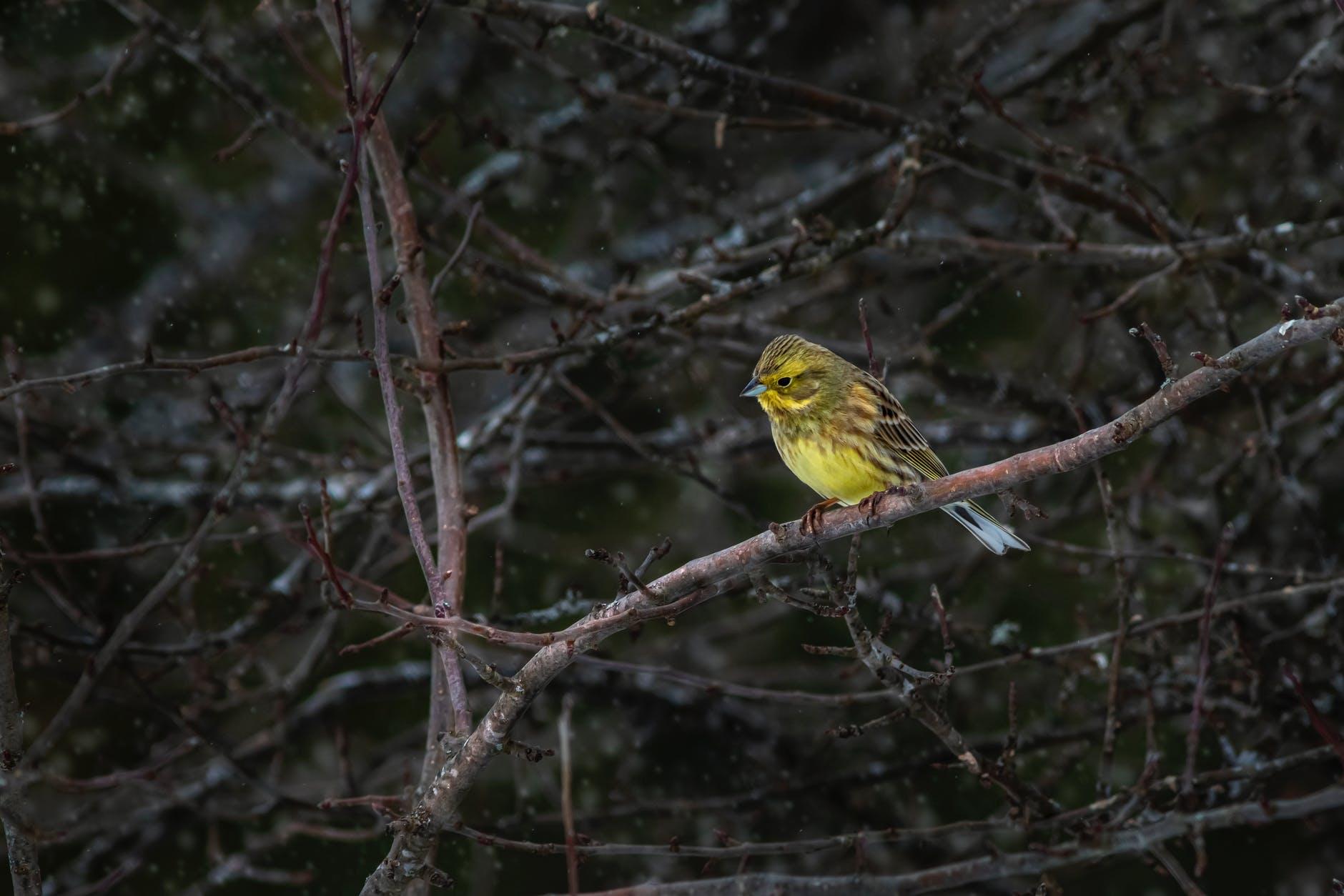 żółty ptaszek wielkości wróbla